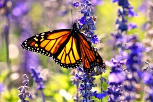 bigstock-Monarch-Butterfly-52550926