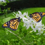 bigstock-Monarch-butterfles-47073508 (1)