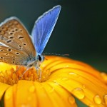 bigstock-blue-butterfly-on-yellow-flowe-15515210 (1)